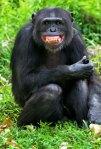 Lachende chimpansee